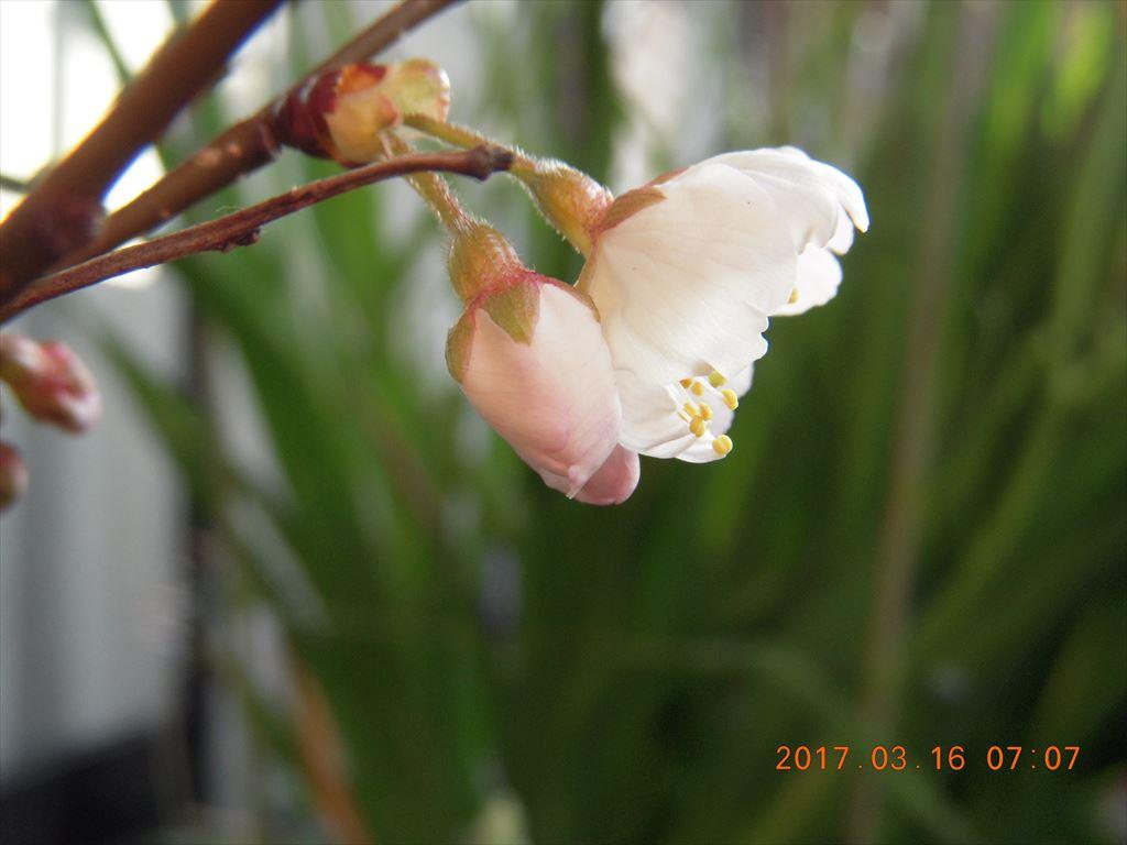 春のベランダ2017-1